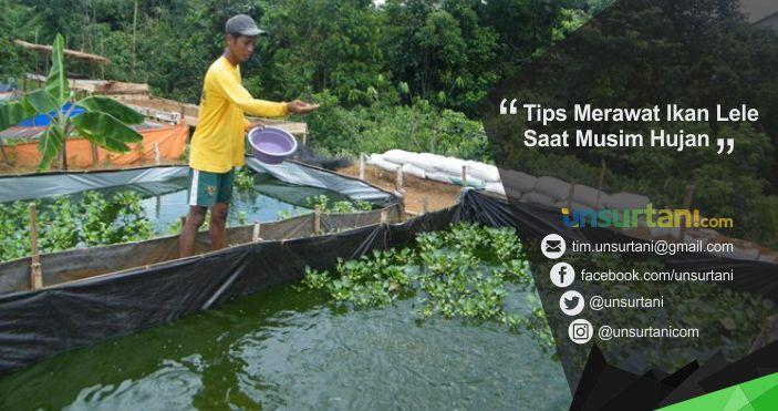 Tips Merawat Ikan Lele Saat Musim Hujan Unsurtani Com