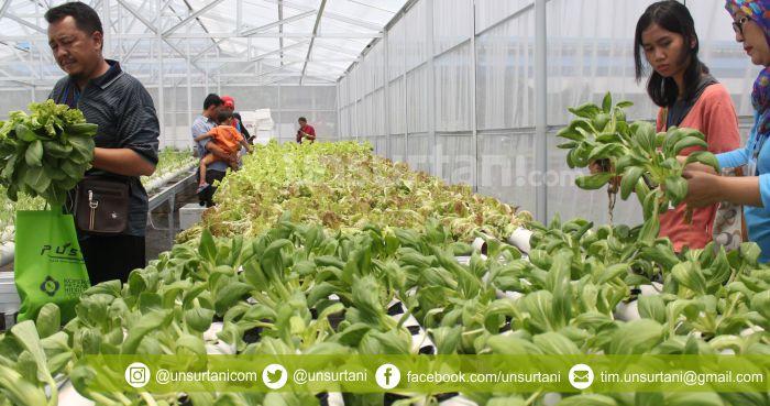 Peluang Bisnis Sayuran Hidroponik Dan Strategi Pemasarannya