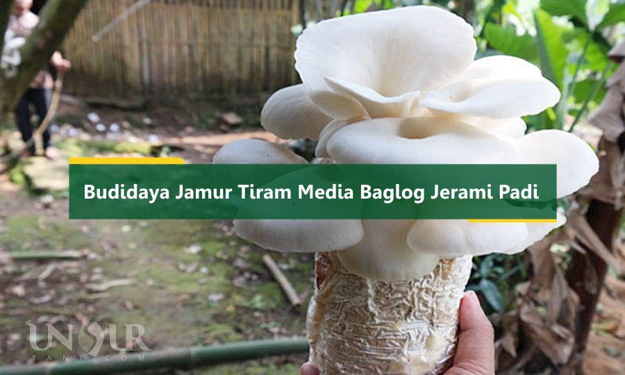 Budidaya Jamur Tiram Media Baglog Jerami Padi Unsurtani Com